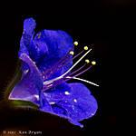 20110414_AZDesertBluebell_7934.jpg