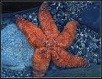 243359Ochre_Starfish_BORDERED.jpg