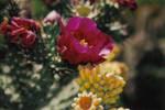 245810cactusflower22.jpg