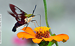 2_N_086_D5100_VR55_I-1250_16Aug13_CView_yard_Hummingbird-Moth_sgc699.jpg