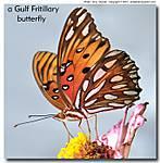 4_K_052_D5000_VR85-mic_Iso640_CView_Garden_Gulf-Fritillary_sgc698.jpg