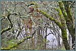 A_NorCal_Rain_Forest_X.jpg