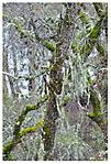A_NorCal_Rain_Forest_Z1.jpg
