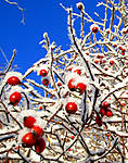 Frosty-berries.jpg