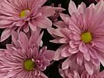 Pink_Mums_640x480_.jpg