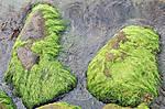 Sea_Moss_3.jpg