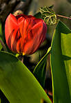 Tulip-with-sunset-light-1-4-12.jpg