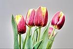Wojciech_Zielinski_tulips_IMG_0208.JPG