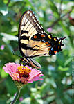 f_R_133_D60_VR85-mic_Iso400_20Jul11_CView_Swallowtail_BuFly_sgc699.jpg
