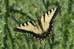 tiger-swallowtail.jpg