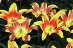 tulips_mosaic_A.jpg