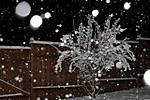 snow_bush.jpg