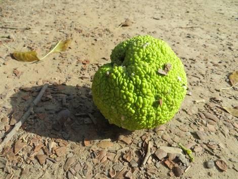 Bois D' Arc Fruit