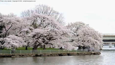 Cherry trees along the Tidal Basin