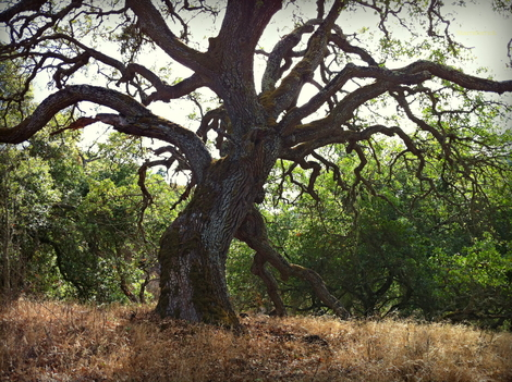 Oak Woodlands...