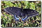3_B_060_D90_VR70-300_I-500_2Mar14_CView_yard_American-Swallowtail_sgc697.jpg