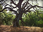 Almaden_quicksilver_park_mighty_oak3HDR.jpg