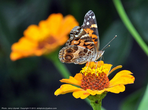 A American Painted Lady butterfly
