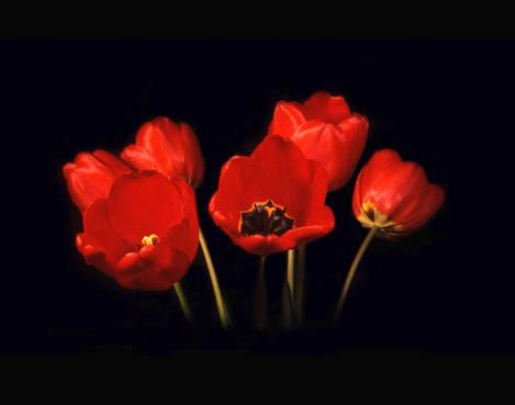 Tulips On Velvet
